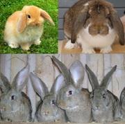 Кролики великаны,  гиганты.