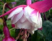 Продаю семена и черенки комнатных цветов